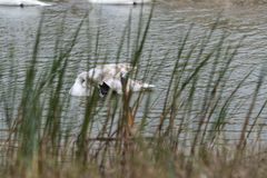 Cisne en un lago o una charca fotografía de archivo
