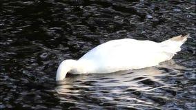 Cisne en un lago que busca para el forraje metrajes