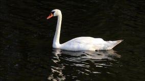 Cisne en un lago que busca para el forraje almacen de video