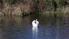 Cisne en una cala