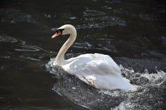 Cisne en una charca Foto de archivo libre de regalías