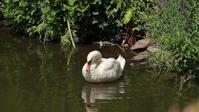 Cisne en una charca, limpiándose (animales) metrajes