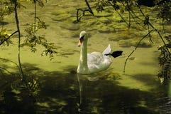 Cisne en una charca verde Foto de archivo libre de regalías