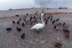 Cisne entre patos imagens de stock