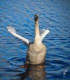 A cisne está batendo suas asas fotografia de stock royalty free