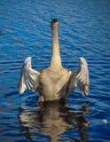 A cisne está batendo suas asas imagens de stock royalty free