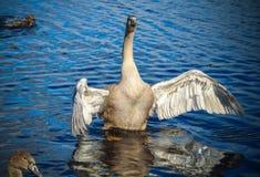 A cisne está batendo suas asas imagens de stock