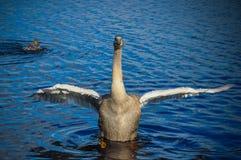 A cisne está batendo suas asas imagem de stock royalty free