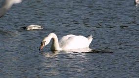 A cisne está comendo video estoque