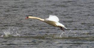 A cisne está decolando da água Imagem de Stock