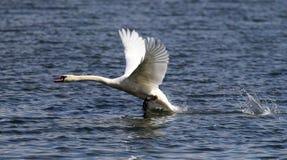 A cisne está decolando da água Fotografia de Stock