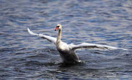 A cisne está decolando da água Foto de Stock Royalty Free