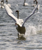 A cisne está decolando da água Fotos de Stock Royalty Free