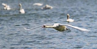 A cisne está decolando da água Imagem de Stock Royalty Free