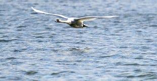 A cisne está decolando da água Imagens de Stock Royalty Free