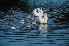 Cisne famely Foto de archivo