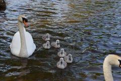Cisne famiy Foto de Stock Royalty Free