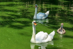 Cisne fammily no lago Fotografia de Stock