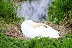 Cisne femenino blanco dormido en jerarquía en la reserva de naturaleza fotos de archivo