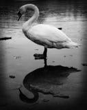 Cisne - gêmeo do mal Imagens de Stock Royalty Free