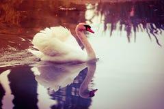 Cisne graciosa Imagens de Stock Royalty Free