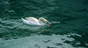 Cisne graciosa bonita na água clara azul Fotos de Stock
