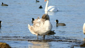 Cisne gris almacen de metraje de vídeo