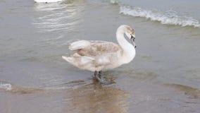 Cisne gris grande en el mar, concepto de los animales salvajes metrajes