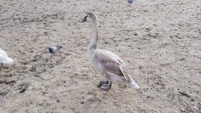 Cisne gris grande en el primer del mar, concepto de los animales salvajes almacen de metraje de vídeo