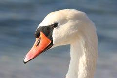 Cisne hermoso Fotografía de archivo