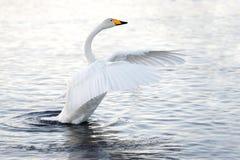 Cisne hermoso, apacible, solo que flota en el lago en el salvaje Imagenes de archivo