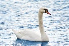 Cisne hermoso en el lago Imagenes de archivo