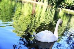 Cisne hermoso en el parque Boston EE.UU. Foto de archivo