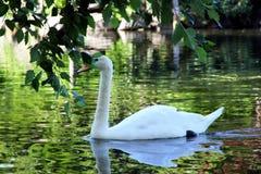 Cisne hermoso en el parque Boston EE.UU. Imagen de archivo