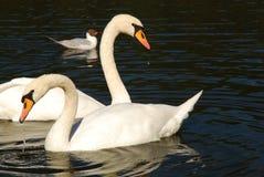 Cisne hermoso en un lago Foto de archivo libre de regalías