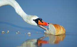 Cisne hermoso que come el pan Imagen de archivo libre de regalías