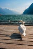 Cisne hermoso y el lago Foto de archivo libre de regalías