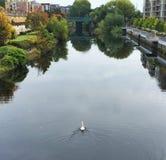 Cisne Irlanda de Liffey del río Foto de archivo libre de regalías