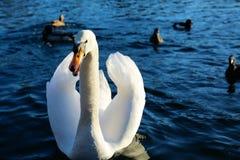 Cisne irritada Imagens de Stock Royalty Free