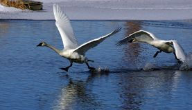 Cisne irritadiço Fotografia de Stock