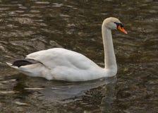 A cisne isolada está nadando na água morna imagem de stock