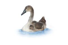 Cisne joven Foto de archivo libre de regalías
