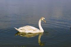 Cisne joven Fotos de archivo libres de regalías