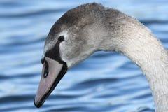 Cisne joven Imagen de archivo libre de regalías