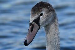 Cisne joven Foto de archivo
