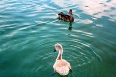Cisne joven con el pato en el lago Powidz polonia Fotografía de archivo