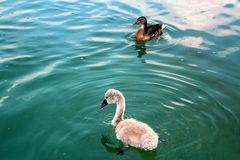 Cisne joven con el pato en el lago Powidz polonia Fotos de archivo