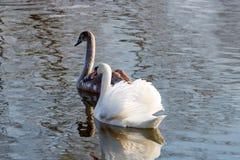 Cisne joven con la natación del padre en la superficie del río en el día soleado fotografía de archivo