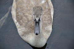 Cisne joven en el agua Imágenes de archivo libres de regalías