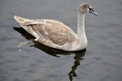 Cisne joven en el agua Fotografía de archivo